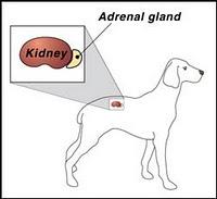 Position der Nebennieren